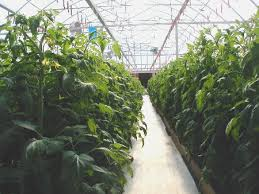 hydroponic tomato growing tips a how