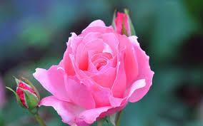 rose flowers hd wallpapers top free