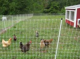 Does Electric Poultry Fencing Work Really Well What Brand Is Best Backyard Chickens Learn How To Raise Chickens