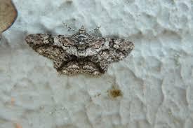 moths swarm on queensland bank after