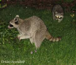 Raccoons The Garden Thief Raccoon Electric Fence Raising Farm Animals