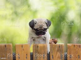 The Puppy Pug Is Watching Crawling Snail Fence Stock Photo Download Image Now Istock