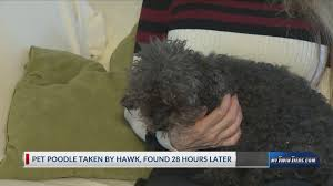 blind deaf poodle scooped up by hawk