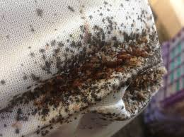 can bed bug traps clear an infestation