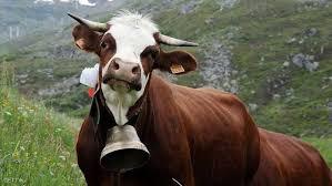 عصابة تسرق أجراس البقر في النمسا ما قصتها حسام محمد صيحات