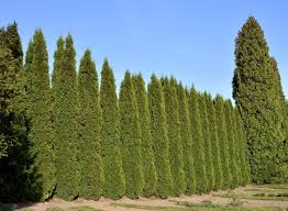 Zone 9 Trees For Privacy What Are The Best Screening Zone 9 Trees