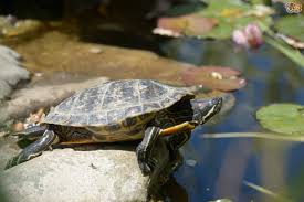Keeping Turtles In An Outside Pond In The Uk Pets4homes