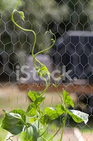 Pole Bean Plant Climbing Up Chicken Wire Support Stock Photos Freeimages Com
