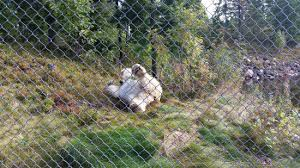 Polar Bear Rolling Around After A Swim Not A Great View Due To The Chain Link Fence Picture Of Orsa Gronklitt Bjornpark Tripadvisor