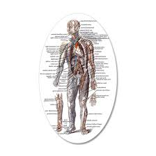 Anatomy Of The Human Body 35x21 Oval Wall Decal By Galenimages Cafepress