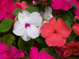 impatiens how to plant grow and care