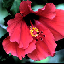 hibiscus photography by cally