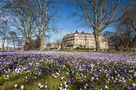 The Stray, Harrogate Crocuses on... - Welcome to Yorkshire ...