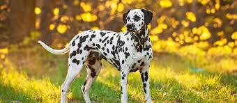 Dalmatian Puppies For Sale - Dalmatian ...