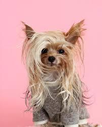 stylish yorkie models trendy hairstyles