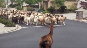 200 Goats Break Out Of Fence To Run Through Streets Time