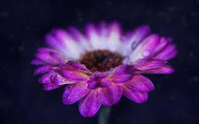 تحميل خلفيات جربر 4k الندى زهور البنفسج خوخه البنفسجي جربر