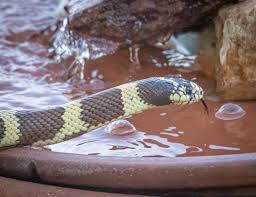 Column Who Knew Snakes Drink Water The San Diego Union Tribune