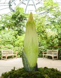 stinky corpse flower expected to