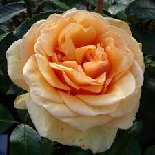 Giftaplant - ROSE SUSIE