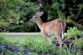 The 12 Best Deer Repellent In 2020 Reviews Guide