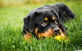 baby rottweiler hd wallpaper