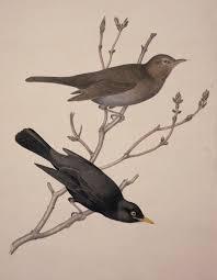 us merula eurasian blackbird