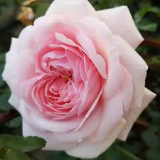 Rosa Awakening - rose antiche climber e rambler _nline - rose ...