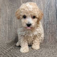 toy poodle puppies in usa