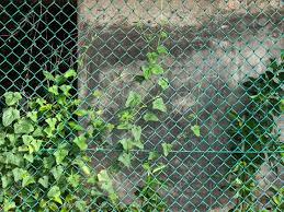 Climbing Plant Grow Against Chain Link Fence Stock Photo Picture And Royalty Free Image Image 136120948