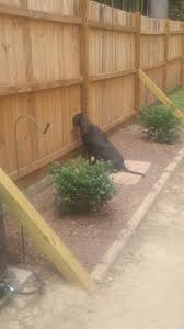 My Dog Likes To Watch Our Neighbor So We Cut Him A Little Hole In The Fence So He Stopped Digging Under It Aww