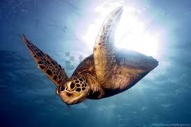 barrier reef sea swim turtle