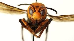 Murder Hornets' Have Arrived in U.S ...