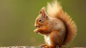 Red squirrels striking back in fight with grey invaders | Scotland | The  Times