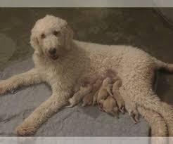 puppies near 37214 usa page