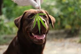 Does CBD for Dogs Actually Work? - Social Marketing Fella