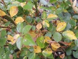 reasons for rose leaves turning yellow