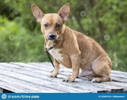 Miniature Pinscher Chihuahua Mixed ...