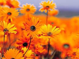 صور زهور برتقالية ليدي بيرد