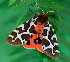 UK moths: nine of the most colourful and distinctive | Natural History  Museum