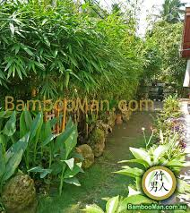 bamboo plants for hedging fence