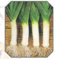 Onion-F1 Hillary Green (Allium) Seeds, अनियन सीड, प्याज के बीज - Dev Agri-  Tech Private Limited, New Delhi   ID: 4410659091
