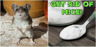 6 clever ways to get rid of mice that