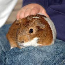 why do guinea pigs on people