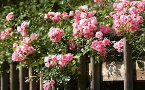 rose garden secrets from master