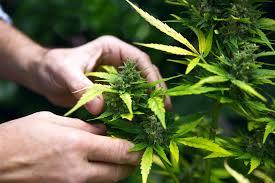 Lebanon legalizes medical marijuana amid virus, economic collapse - World -  The Jakarta Post