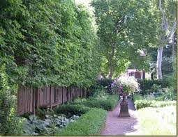 Planting Along Fence Line Google Search Privacy Trees Evergreen Trees For Privacy Privacy Plants