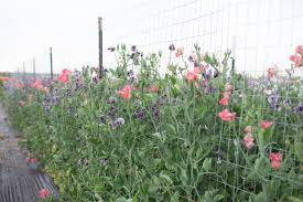 How To Grow Sweet Peas Floret Flowers