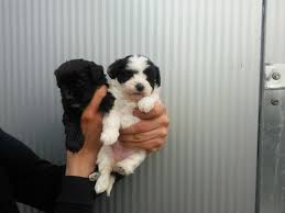 chihuahua x toy poodles puppies