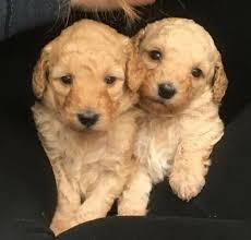 Beautiful Labradoodle Puppies for sale | in Sidcup, London | Gumtree